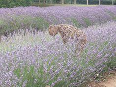 Norfolk Lavender. Image courtesy of IFPA Member Emi Bellamy