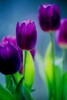 Este- Activar la Coordenada Este de nuestras casas con flores, aportará buena energía y frescura a sus espacios Purple Rain, Purple Tulips, Purple Love, Shades Of Purple, Tulips Flowers, Spring Flowers, Pretty Flowers, Planting Flowers, Dark Purple