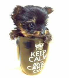 Teacup Yorkie... A photo opt I couldn't resist!!
