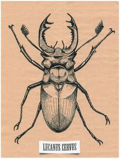 Lucanus cervus - Stag beetle by Denis Pakowacz, via Behance