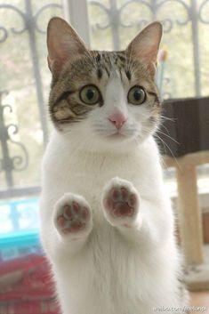 - Katzen - - (notitle) – gatos – – Se ha demostrado científicamente que acariciar a un gato reduce la presión arterial. Cute Cats And Kittens, I Love Cats, Crazy Cats, Kittens Cutest, Pretty Cats, Beautiful Cats, Animals Beautiful, Cat Paws, Dog Cat