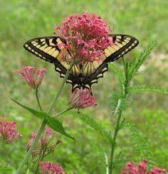 Swallowtail butterfly on Red Valerian