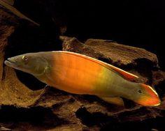 Orange Pike Cichlid, Crenicichla sp. Xingu I Species Profile, Orange Pike Cichlid Care Instructions, Orange Pike Cichlid Feeding and more. :: Aquarium Domain.com