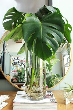Water Plants Indoor, Plants Grown In Water, Indoor Garden, Garden Plants, House Plants Decor, Plant Decor, Como Plantar Banana, Decoration Plante, Inside Plants