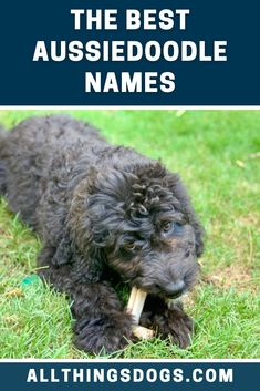 What's not to love about the loving and affectionate Aussiedoodle? Everyone who meets them would instantly fall in love. And to introduce them to these new people, they would need a great Aussiedoodle name. Check out our guide for inspiration on these names. #aussiedoodle #aussiedoodlenames #aussiepoo Best Dog Names, Puppy Names, Aussie Poo, New Puppy, Goldendoodle, Dog Care, Puppies, Balanced Diet, Dog Food