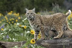 Wildlife Fine Art - Art, Prints, Posters, Home Decor, Greeting Cards, and Apparel