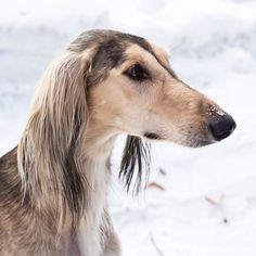 So regal. Saluki in the snow. Next to IG for cuteness!