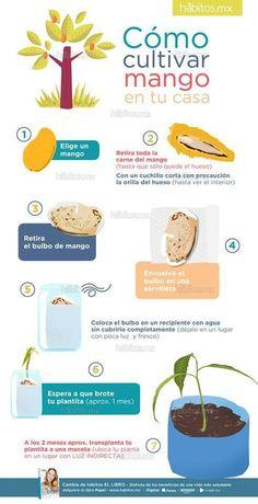 Cultivar mango en tu casa