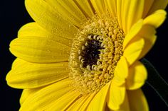 Gerbera Daisy 3 by Martha Di Giovanni on 500px