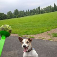 Beautiful Bert loves a tennis ball. And we love Bert. www.hastingspetcare.co.uk Doggy Dayacare and Walking Services St Leonards, Hastings and Fairlight