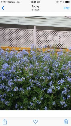 Plumbago hedge in bloom ~ February facing west