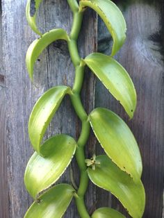 Green Leaf Vine