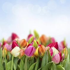 Tulips are another sign that spring has sprung and find themselves in many-a-bouquet this time of year. They do, however, cause hyper-salivation and vomiting in cats and dogs, so beware of where you place them in your home.Photo: Neirfy via Thinkstock