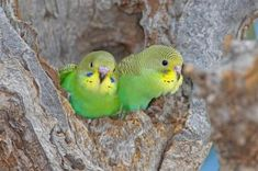 Welcome! Here you will learn all about budgie history, whether you are a beginner or a experienced owner! A little history: Budgies first originated in Australia. They are today found in no other p...