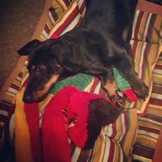 Chillin' with my homie, Mr. Snake #brosforlife #ziggybubba #dachshund #thedoxieworld #doxielove #dachshundoftheday #ilovedachshunds #sausagedog #ilovemydoxie #puppylove #dachshundlove #doxiesofinstagram #doxiewatch #doxie #dachshundsofinstagram #puppies #dogoftheday #picoftheday #instapuppy #minidoxie #minidachshund #dackel #weiner #doxiesdownunder #puppy #puppygram #dachshunds #頑張れいぬぐみ #愛犬 #pecoいぬ部