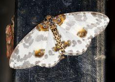 Percnia luridaria nominoneura by cowyeow, via Flickr