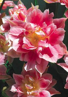 PEACH BLOSSOM, 1890 It's a frothy extravaganza of white and pink (not peach), like a lacy, romantic, Victorian valentine. If you've never grown double tulips, start here! Double Early!