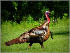 Eastern Wild Turkey | This male eastern wild turkey was foll… | Flickr