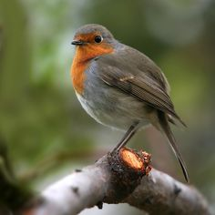 robin... by ivo pandoli on 500px