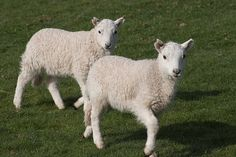 Welsh Lambs by winfielr, via Flickr