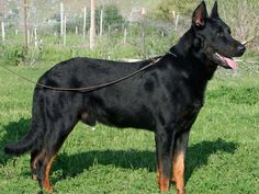 Beauceron - French breed dating to 1573, almost wiped out in both World Wars - 100 lbs for males, smart, social, family dog