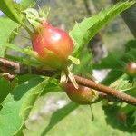 Cinipide Galligeno: un piano per salvare le castagne di Sicignano Degli Alburni Salvia, Apple, Fruit, Vegetables, Apple Fruit, Vegetable Recipes, Veggie Food, Veggies, Apples