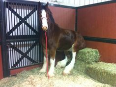 Lazy Clydesdale lol