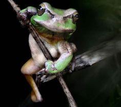 he-man frog