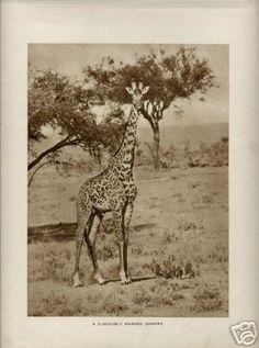 SALE Vintage 1930s Safari Photo Rotogravure A Curiously Marked Giraffe. $5.00, via Etsy.