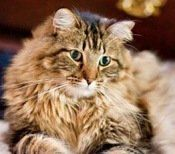Alfred The Brown Tabby Maine Coon