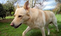 Can de Palleiro - Pastor Galego - Galician Shepherd Dog