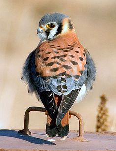 ^Kestrel, north americas littlest falcon