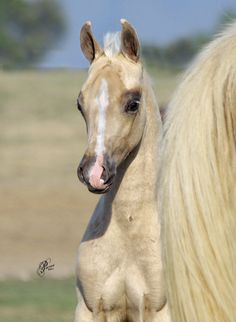 2011 Palomino Colt Half Arabian. Now, I haven't the slightest idea about horses, but that they're beaitiful. So, this one is, like I said,  b e a u t i f u l !