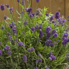 Lavender Mini Blue, Lavandula angustifolia, Lavender - Perennials from American Meadows