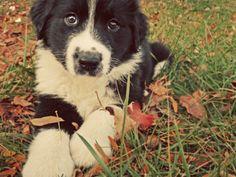 Australian Shepherd/Border Collie Puppy