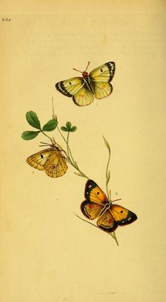 - The natural history of British insects : - Biodiversity Heritage Library Botanical Illustration, Botanical Prints, Illustration Art, Botanical Drawings, Butterfly Wall Art, Vintage Butterfly, Korean Painting, Japanese Drawings, Hand Art