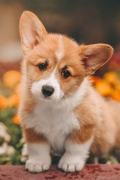 Cute Corgi Pembroke puppy Pics of other animals to get you in the mood - Cute animals - Puppies Very Cute Puppies, Cute Animals Puppies, Cute Baby Animals, Funny Animals, Lab Puppies, Animals Dog, Funny Dogs, Cute Corgi Puppy, Corgi Dog