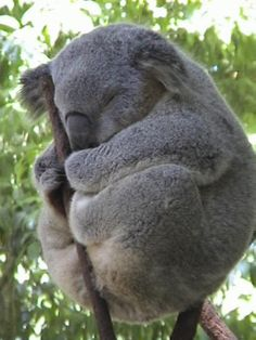 Koala - we have two that inhabit eucalypts on our property (S.E.QLD) ...normally we spot them when the spring months hit.