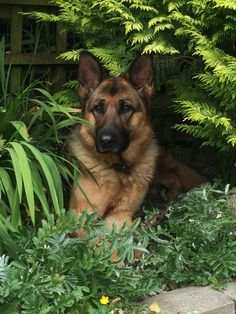 #German #Shepherd beauty. JUST WAITING ON A VISITOR,TO CROSS THAT LINE IN THE SAND:):):)