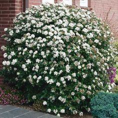 Immergrüner Schneeball Eve Price - Immergrüne Pflanzen