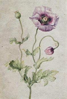 Anémone, fin du XVIIe siècle et début du XVIIIe