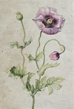 Poppy. Johanna Helena Herolt Graff. Late 17th - early 18th century.