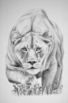 lion's vs tiger's who is the superior fighter in the wild and captive? tiger and lion . pencil sketch of roaring lion lion – ayesha khan . Realistic Animal Drawings, Pencil Drawings Of Animals, Cool Art Drawings, Animal Sketches, Art Drawings Sketches, Easy Drawings, Pencil Sketch Drawing, Lion Drawing, Lion Sketch