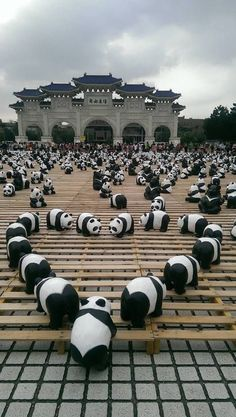Hundreds of pandas 😍😍😍😍 Cute Panda Baby, Baby Animals Super Cute, Baby Panda Bears, Cute Little Animals, Baby Pandas, Red Pandas, Cute Animal Memes, Cute Funny Animals, Panda Mignon