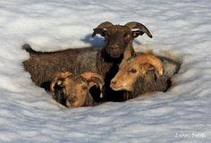 ALLPE Medio Ambiente Blog Medioambiente.org : La increible resistencia de las ovejas islandesas