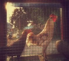 .. My Neighbor's Chickens (another shot) .. taken with OppoYOYO & edit with Snapseed