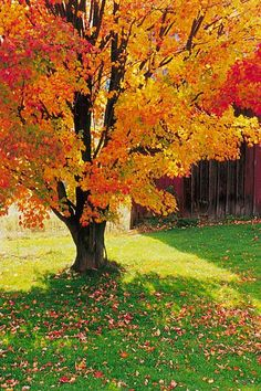10 Fast-growing Shade Trees for Dappled Sunlight Where You Want It Autumn Scenery, Autumn Trees, Purple Flowers, White Flowers, Fast Growing Shade Trees, Landscape Photography, Nature Photography, Popular Tree, Fall Vacations