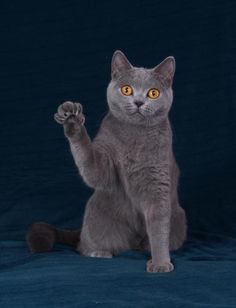 On a personal note, my cat, Sharky (a true look-alike to the Chartreux pictured), just ran downstairs and under a chair after hearing a clap of thunder. He is such a sweety pie, and so very frightened of thunderstorms. 09-17-13 11:21 a.m.
