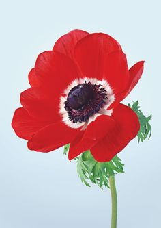 According to both Greek mythology and Christianity, the red anemone symbolizes death or the act of forsaken love.
