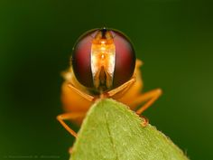 Hoverfly by Rundstedt B. Rovillos     Crucial Moments of the Wild Life